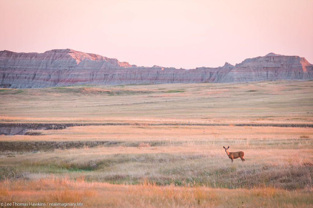 A deer looks up from grazing near the Badlands Loop Road just south of Norbeck Pass in Badlands National Park in South Dakota.