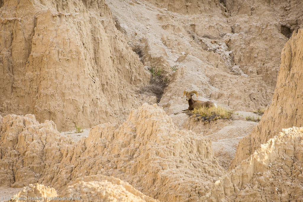 A bighorn sheep rests in morning shade north of Cedar Pass along the Badlands Loop Road in Badlands National Park.