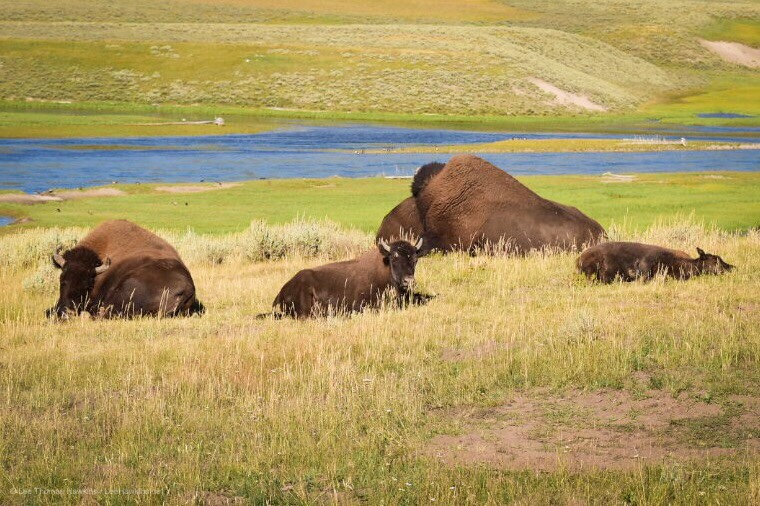 Three young bison lie in tall yellow grass with an adult bison. A blue river flows in the distance below them.